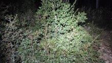 Fenix HM65R-T alumbrando el mismo arbusto a la máxima intensidad.